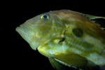 John dory   (Zeus faber)